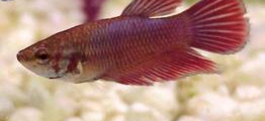 נקבת דג קרב